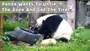 Panda Wants To Untie The Rope And Get The Tire! | iPanda