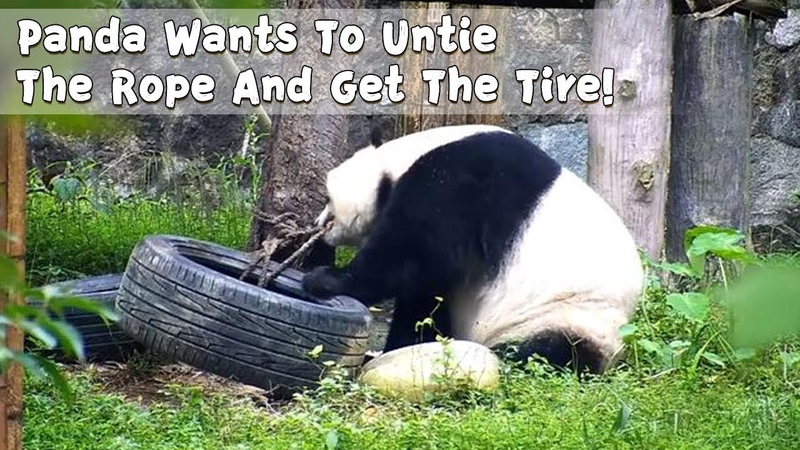 Panda Wants To Untie The Rope And Get The Tire!   iPanda