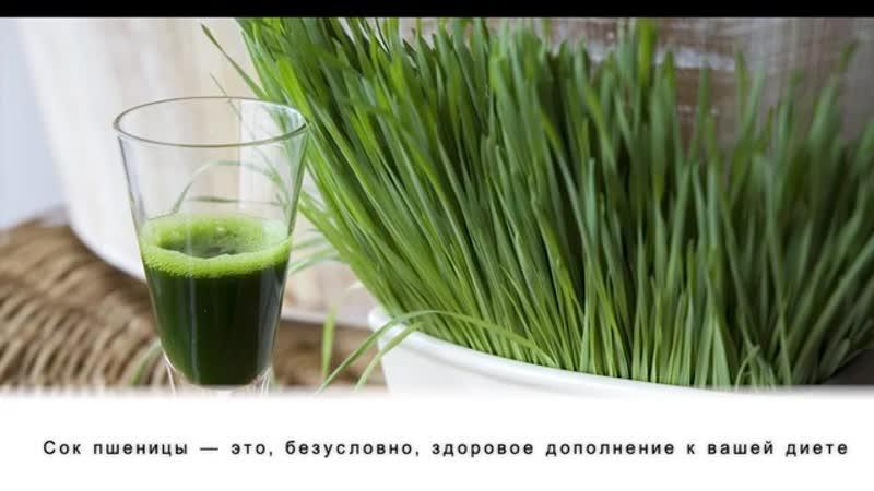 4 преимущества употребления сока ростков пшеницы для здоровья