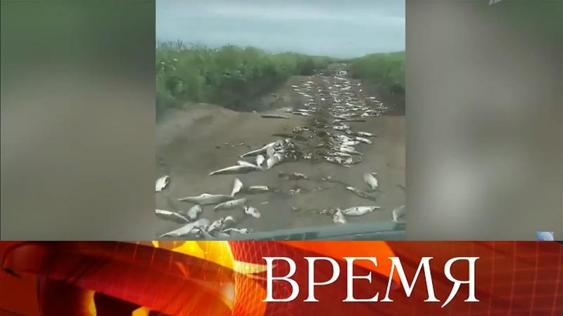 В России рекордный улов лосося, но вместо магазинов тонны рыбы оказались в камчатском лесу.
