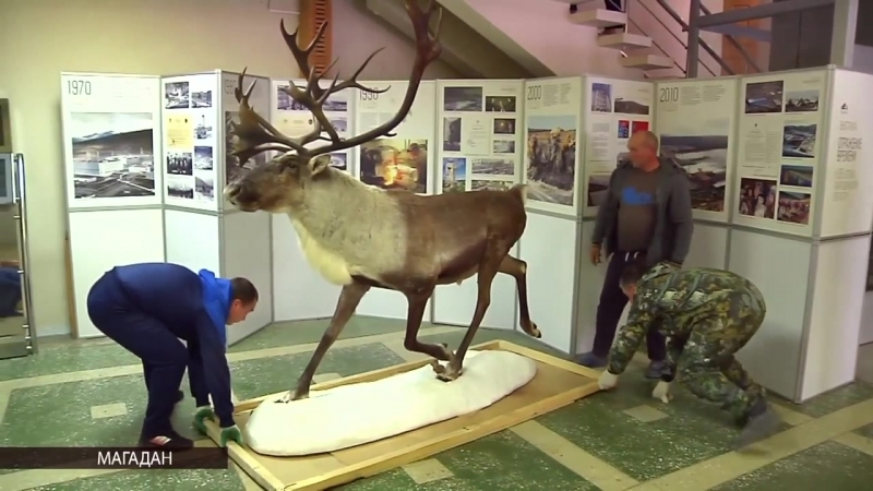 Символ Колымы – северный олень – станет украшением экспозиции в Краеведческом музее Магадана
