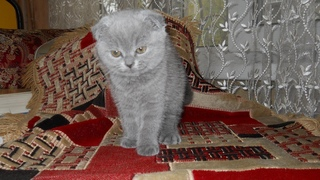 Маленький котенок породы Шотландская вислоухая отчаянно просит поесть