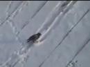 ворона катится с крыши на плюшке