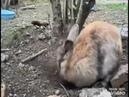 Невероятное видео:как кролик прячет своих крольчат.