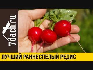 👨🌾 Лучшие раннеспелые гибриды РЕДИСА- выбираем семена - 7 дач
