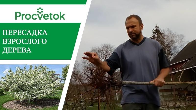 Пересадка плодовых деревьев. Как правильно пересадить яблоню.