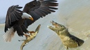 Eagles too fast, Catching Baby Crocodile - Mother Crocodile failed to protect her Baby from Eagle