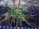Земляничный шпинат Однолетнее растение обильный самосев 04 06 2018