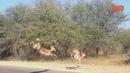 Ржачное видео антилопа влетела в джип