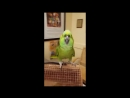 Parrot's laught
