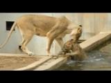 Львица лижет мокрую киску, без регистрации и смс.