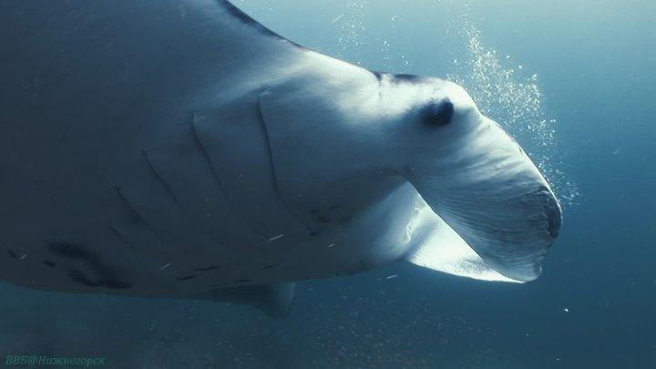 BBC «Королева морских дьяволов (скатов мант)» (Документальный, природа, животные, 2009)