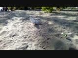 белый голубь на пляже, (2018.09.06)