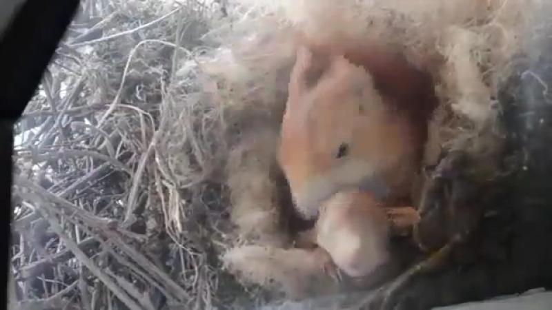 белка свила гнездо