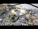 Менделеева 16 - птенцы голубя
