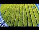 Чайные плантации Мацесты. Даша Меленчук