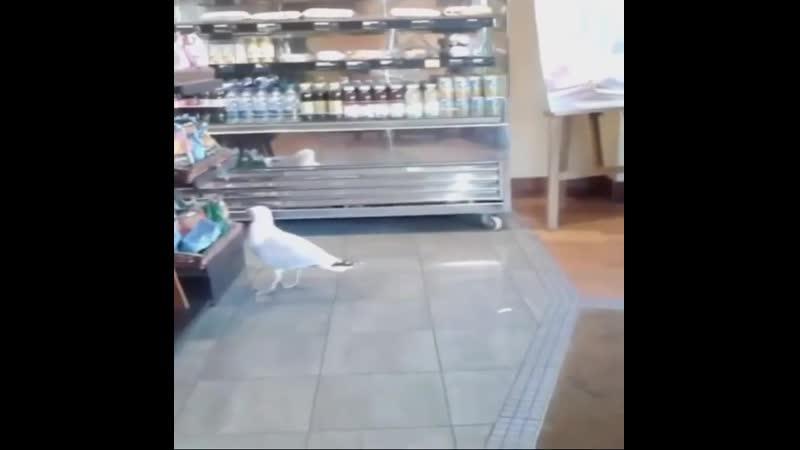 Чайка изящно крадёт чипсы