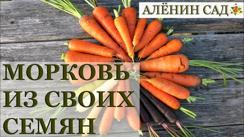 МОРКОВЬ ИЗ СВОИХ СЕМЯН Как вырастить семена моркови, а из семян морковь....