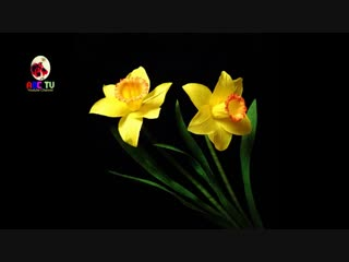 ABC TV _ How To Make Daffodils Paper Flower From Crepe Paper - Craft Tutorial.mp4