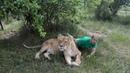 Олег Зубков уговаривает львицу Клепу сфотографироваться