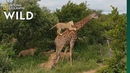 Rare Video Shows Lion Pride Try to Slay a Full-Grown Giraffe Nat Geo Wild