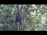 Baby gorilla in Uganda trying and failing to climb the branches of a small tree.
