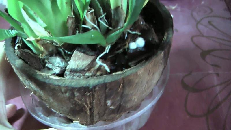 Мой эксклюзивный метод посадки орхидеи Онцидиум Твинкль ☝ Oncidium Twinkle orchid grows in coconut
