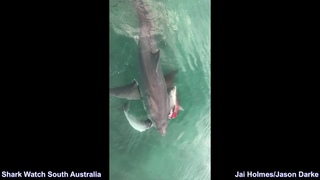 Dolphin Gets Mauled by Two Great White's - Bigger Shark Steals Catch in South Australia 15/8/18