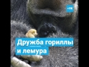 Дружба гориллы и лемура