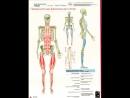 Анатомические поезда Т Маерса Поверхностная фронтальная линия