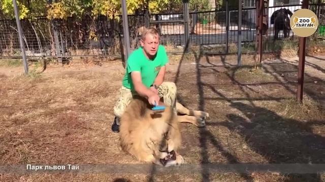 Как Олег Зубков льву Малышу прическу делал. Тайган   Man combing a lion · coub, коуб