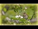 1 Час - Прекрасное Пение Соловья / Nightingale Singing Forest Birds