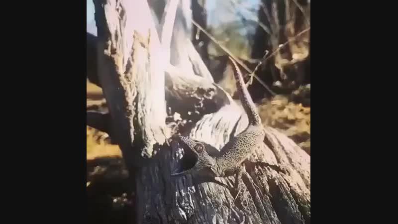Геккон выбрасывает паутину