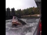 Жуткий аттракцион с огромной белой акулой 😱 😳 Натуральные «Челюсти»! Интересно, а если кто-то упадет за борт...