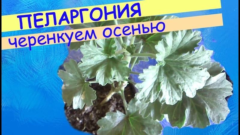 Пеларгония: черенкование осенью.