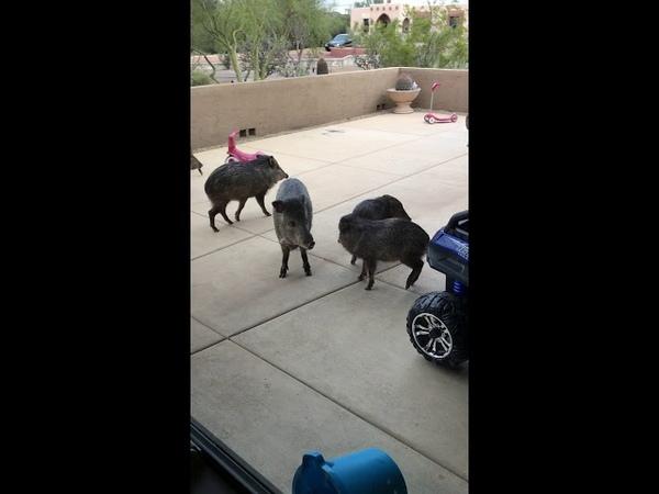 Дикие свиньи совершили визит в аризонский дом || ViralHog