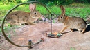 Creative Man Make Best Rabbit Trap Using Branches HowTo Make Rabbit Trap Work 100%