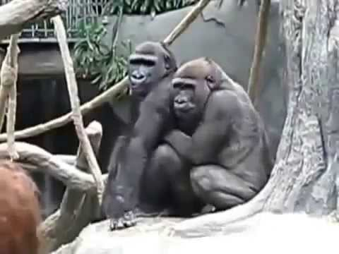 Homo sexual Gorilla Mating | Show both are a Lovely Core | Mating Gorillas