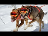 10 Best Sled Dog Breeds
