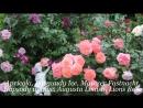 Розы дождливым летом 2013 года