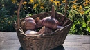 Как получить крупный урожая с озимого чеснока Правильная посадка чеснока