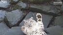 SNOW LEOPARD CAMERA TRAP FAIL! | Paradise Wildlife Park