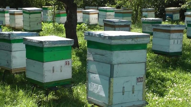 Перенимаем опыт у пчеловода. Папа Дима пытается снять рой