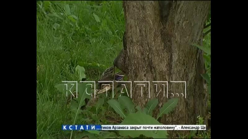 Сачком и простынями спасали утиный выводок от охотников городских джунглей
