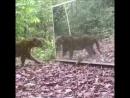 This Leopard spotting itself in the mirror Леопарду не понравились пятнышки на теле