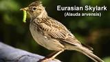 Skylark - Eurasian Skylark Bird Call
