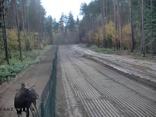 просто лось перепрыгивает через забор на границе Белоруссии и Литвы, который должен был сдерживать