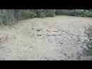 Утка с утятами на дачном болоте