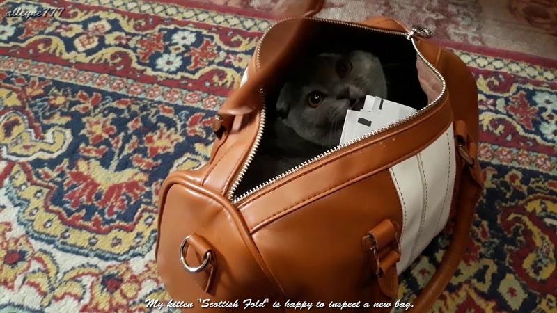 Мой котёнок Скоттиш Фолд счастлив проинспектировать новую сумку 🔴 😻