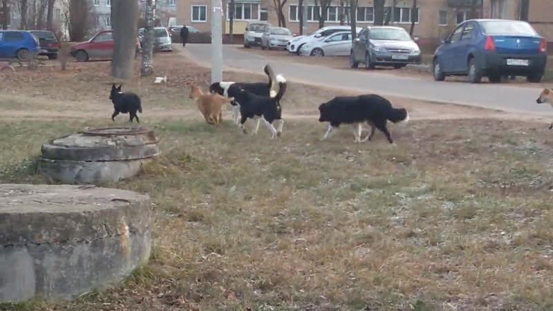 Свора собак гуляют в Непецино.